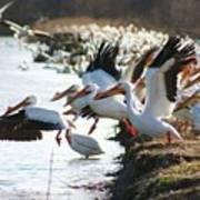 Pelicans Leaving Art Print