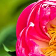 Peonie Flower Art Print