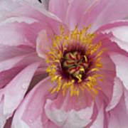 Peonie In Pink Art Print