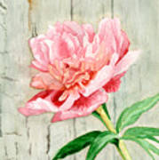 Peony At The Fence Art Print