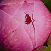 Peony Blossom Opening Art Print