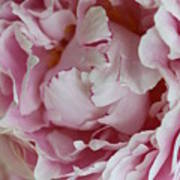 Peony Close Up Art Print
