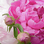 Peony Pair In Pink And White  Art Print
