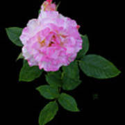 Peppermint Rose1 Cutout Art Print