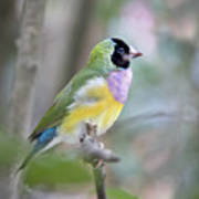 Perched Gouldian Finch Art Print by Glennis Siverson