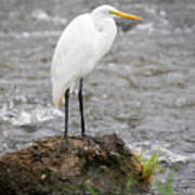 Perched Great Egret Art Print