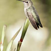 Perched Hummingbird On Flower Art Print