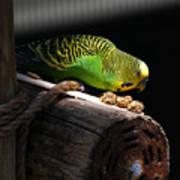 Perched Parakeet Art Print