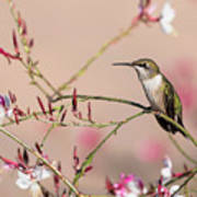 Perching Ruby-throated Hummingbird Art Print