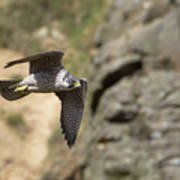 Peregrine Falcon In Flight Art Print