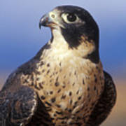 Peregrine Falcon Print by Sandra Bronstein