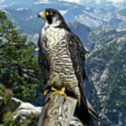 Peregrine Falcon, Yosemite Valley, Western Sierra Nevada Mountain, Echo Ridge Art Print