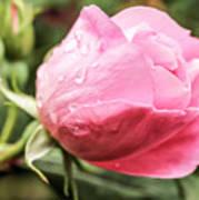 Perfect Pink Rose Art Print