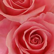 Perfect Pink Roses Art Print