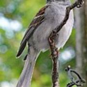 Perfect Profile - Chipping Sparrow Art Print