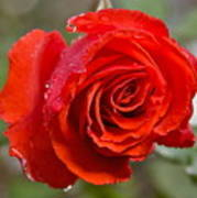 Perfect Red Rose Art Print
