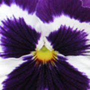 Perfectly Pansy 02 Art Print