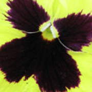 Perfectly Pansy 05 Art Print