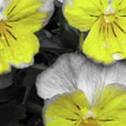 Perfectly Pansy 13 - Bw - Yellow Art Print