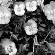 Perfectly Pansy 18 - Bw - Water Paper Art Print