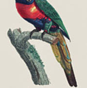 Perruche A Tete Bleue, Male / Rainbow Lorikeet, Male - Restored 19th Cent. Illustration By Barraband Art Print