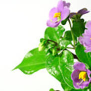 Persian Violets Art Print