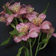Peruvian Lily Art Print