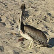 Peruvian Pelican Standing On A Sandy Beach Art Print