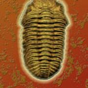 Phacops Rana Crassituberculata  Art Print
