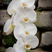 Phalaenopsis Brother White Windian Art Print
