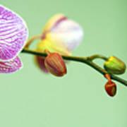 Phalaenopsis Art Print