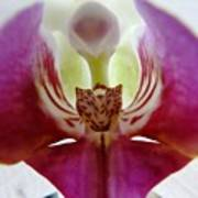 Phalaenopsis Orchid Detail Art Print