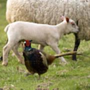 Pheasant And Lamb Art Print