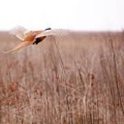 Pheasant In Flight Art Print by Gabriela Insuratelu