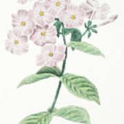 Phlox Acuminata Art Print