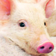 Pig Art - Pretty In Pink Art Print