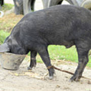 Pig Eating From A Bucket Art Print
