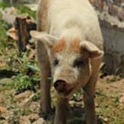 Pig On A Farm Art Print