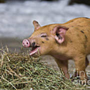 Piglet Eating Hay Art Print