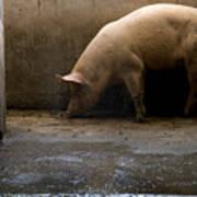 Pigs At A Hog Farm In Kansas Art Print