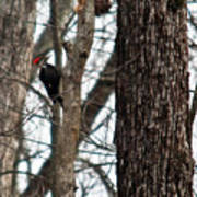 Pileated Billed Woodpecker Art Print