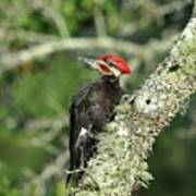 Pileated Perch Art Print