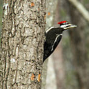 Pileated Searching - Looking Art Print