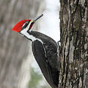 Pileated Woodpecker In Spring Art Print
