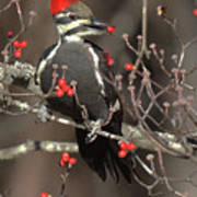 Pileated Woodpecker Lunch Art Print