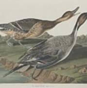 Pin-tailed Duck Art Print