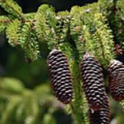 Pine Cones On The Bough Art Print