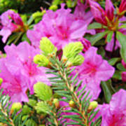 Pine Conifer Art Print Pink Azaleas Flower Garden Baslee Troutman Art Print