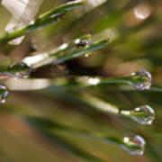 Pine Drops Art Print