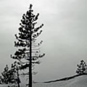 Pine In Snow Art Print